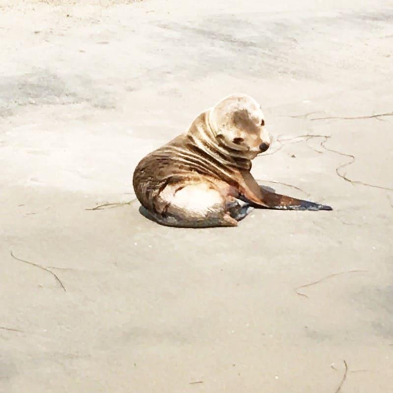 malibu sea lion